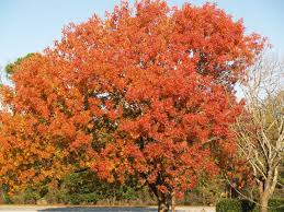 pistachio and terebinth trees evergreen arborist consultants