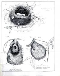 animal u2013 bird u2013 egg u2013 nest new zealand bird nest 1 vintage