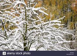 tree with branches covered with white fluffy snow on the