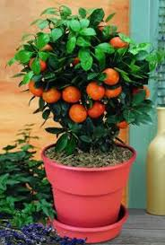 citrus trees from stark bro s citrus trees for sale