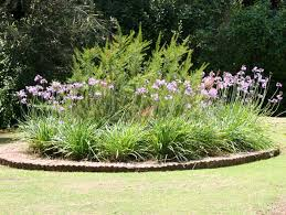 gardensonline tulbaghia violacea