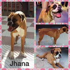 boxer dog 2015 success stories boxer friends spain because every boxer needs