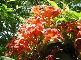 virginia native plant society vines master gardeners of northern virginia