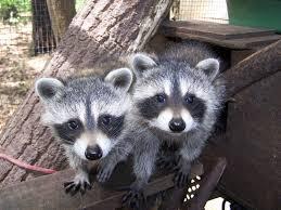 missouri u0026 illinois raccoon conflicts and advice