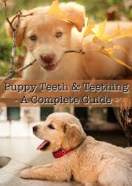 puppy teeth and teething what to expect the happy puppy site