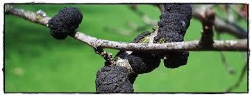perennial tree diseases weedsinlawn