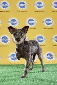 3 legged australian shepherd these three handicapped pups will be the stars of the 2017 puppy bowl