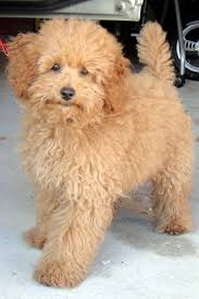 different toy poodle cuts toy poodle hairstyles be sure to learn about your pet dogs from