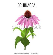 Echinacea Flower Free Stock Photo Of Coneflower Pink Flower And Bud Freerange Stock