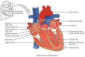 19 2 cardiac muscle and electrical activity anatomy and physiology