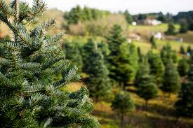 tree farms where you can cut your own trees in