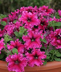 petunia flowers petunia seeds plants multi flowered color flowers burpee