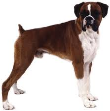 boxer dog jaw 83 best boxer dog images on pinterest boxers boxer love and
