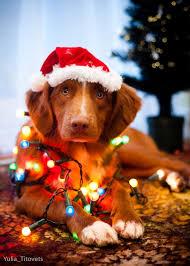 dog christmas four leg rehab inc laurie s