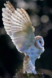 Barn Owl Photography Owl Photography Examples For Your Inspiration Nature Photography