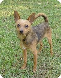 australian shepherd chihuahua mix lewis adopted dog mocksville nc chihuahua australian