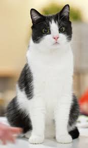 358 best tuxedo cats images on pinterest white cats cats and