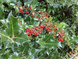 Transplant Fruit Trees - holly bush transplanting information on moving holly bushes
