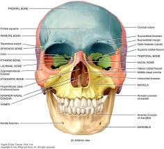 Bones That Form The Cranium 74 Best Anatomy And Physiology For Communication Disorders Images