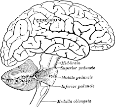 brain anatomy coloring pages contegri com