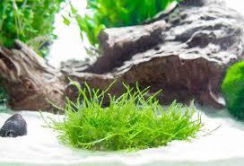 flame moss mat taxiphyllum sp u201cflame u201d aquatic arts