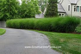 all sizes ornamental grass hedge flickr photo