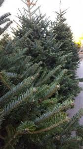 silvertip fir tree fresh real trees embleys