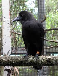 Kbcc Map Hawaiian Crow Or U0027alala Corvus Hawaiiensis At Kbcc Flickr