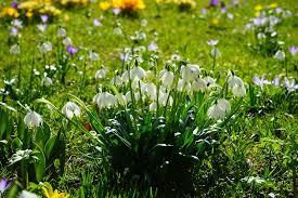Snowflake Flower - free photo spring knotenblume snowflake free image on pixabay