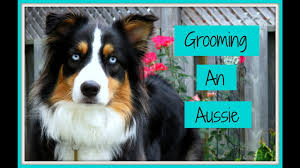 australian shepherd 4 months size grooming an australian shepherd step by step process life with