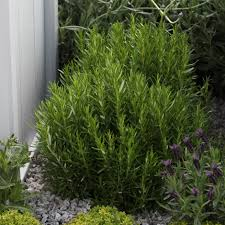 buy rosemary seeds rosmarinus officinalis rosemary delivery by