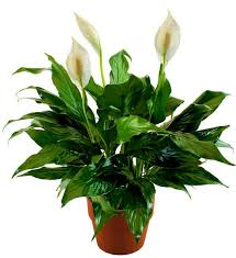 Peace Lily Peace Lily Plant Avas Flowers