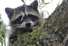 when animals cause blackouts squirrels raccoons and the