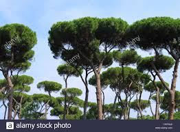 pine tree in rome stock photos pine tree in rome stock images