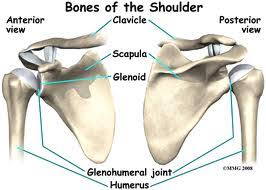 Anatomy Of Shoulder Muscles And Tendons The Shoulder Anatomy Function And Impingement