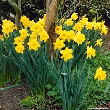 Ideas For Daffodil Varieties Design Trumpet Daffodil Bulbs Dutch Master American Meadows