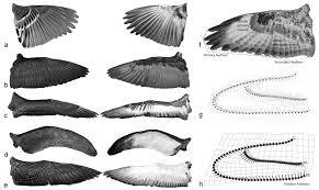 Bird Wing - shape of bird wings depends on ancestors more than flight style