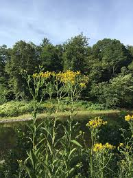 fairhill native plants september 11 1903 awbury arboretum