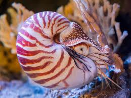 chambered nautilus reefs u0026 pilings octopuses u0026 kin nautilus sp