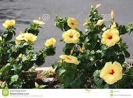 Yellow Hibiscus Flowers - yellow tropical hibiscus flower bed stock photography image 5567172