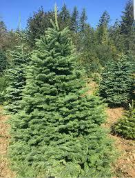 christmas trees noble fir nordman fir and grand fir farrell