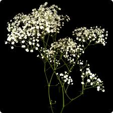 baby s breath wholesale filler supplies wholesale carnations