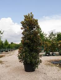 little gem magnolia dallas texas treeland nursery