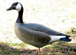 beautiful tom taber canadian goose decoy wooden carved standing
