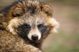 the adorable tanuki raccoon dogs the internet worships have a