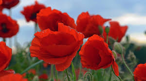 what does the poppy symbolize reference com