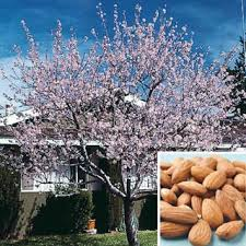 s hardy almond tree a rapidly growing tree to 15 18 ft with