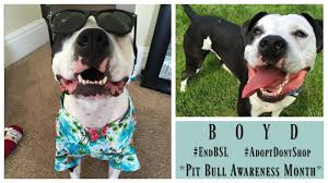 american pitbull terrier wanted dog rescue stories boyd finally found his u201cohana u201d positively woof