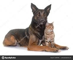 belgian sheepdog dog belgian shepherd malinois and cat u2014 stock photo cynoclub 134807450