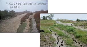grassland native plants growing native u201d to restore nantucket u0027s natural areas nantucket